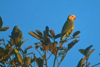 Yellow-faced Parrot - Amazona xanthops