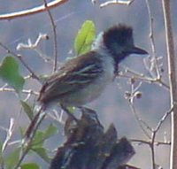 Collared Antshrike - Sakesphorus bernardi