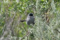 California Gnatcatcher - Polioptila californica