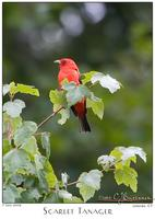 07July05 Scarlet Tanager