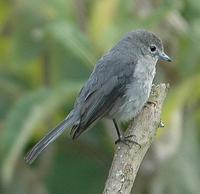 White-eyed Slaty Flycatcher p.408