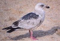 큰재갈매기 (Slaty-Backed Gull) Larus schistisagus