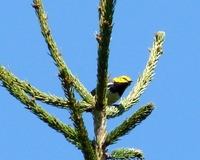 : Dendroica virens; Black-throarted Green Warbler