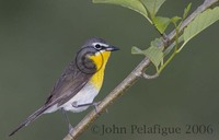 : Icteria virens; Yellow-breasted Chat