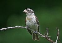 : Pheucticus ludovicianus; Rose-breasted Grosbeak