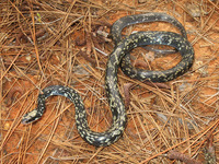 : Coluber constrictor anthicus; Buttermilk Racer