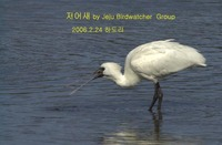 저어새 Black-faced Spoonbill in H...