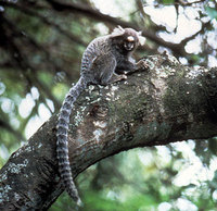 Common marmoset (Callithrix jacchus)