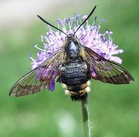 Hemaris fuciformis - Broad-bordered Bee Hawk-moth