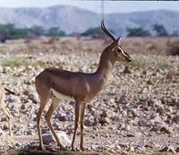 Image of: Gazella gazella (mountain gazelle)