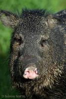 Image of: Pecari tajacu (collared peccary)