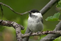 Parus palustris - Marsh Tit