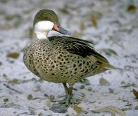 Image of: Anas bahamensis (white-cheeked pintail)