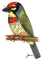 Image of: Megalaima haemacephala (coppersmith barbet)