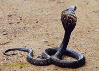 Naja naja - Central Asian Cobra