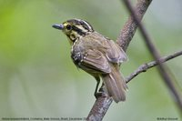 Yellow-browed Antbird - Hypocnemis hypoxantha