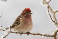 Cassin's Finch - Carpodacus cassinii