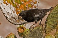 Large Cactus-Finch - Geospiza conirostris