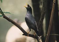 Chinese Jungle Mynah