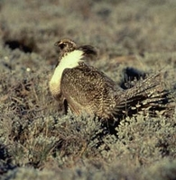 Gunnison sage-grouse in the Gunnison Basin