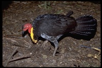 : Alectura lathami; Australian Brush Turkey