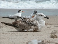 : Larus marinus; Great Black-backed Gull;