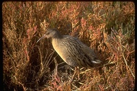 : Rallus longirostris obsoletus; California Clapper Rail