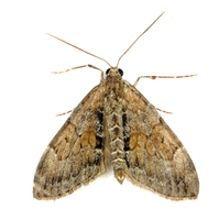 Thera obeliscata - Grey Pine Carpet