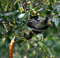 Red-tailed monkey (Cercopithecus ascanius schmidti)