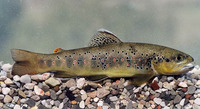 Salmo ischchan, Sevan trout: fisheries, gamefish