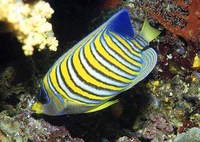 Pygoplites diacanthus, Royal angelfish: fisheries, aquarium