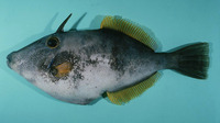 Meuschenia scaber, Velvet leatherjacket: fisheries