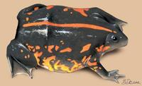 Image of: Rhinophrynus dorsalis (Mexican burrowing toad)