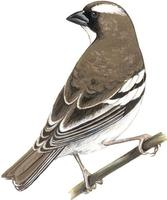 Image of: Plocepasser mahali (white-browed sparrow-weaver)