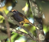 Fiery-browed Myna - Enodes erythrophris