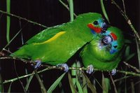 Double-eyed Fig-Parrot - Cyclopsitta diophthalma