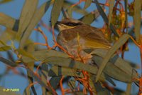 Singing Honeyeater - Lichenostomus virescens