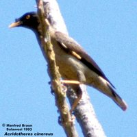 Pale-bellied Myna - Acridotheres cinereus
