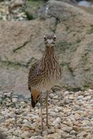 Cape Thick Knee