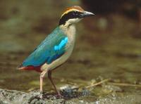 Fairy Pitta (Ten-Di Wu)