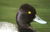 above - a series of pictures (from a video) of the Lesser Scaup, Monkmoor Pool 07/06/05 ©