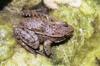 : Rana aurora draytonii; California Red-legged Frog
