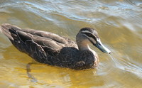 : Anas superciliosa; Pacific Black Duck