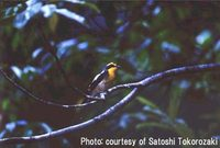 Yakushima Narcissus Flycatcher » Ficedula narcissina owstoni