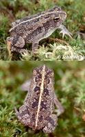 Image of: Bufo quercicus (oak toad)