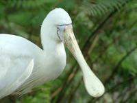 Platalea flavipes - Yellow-billed Spoonbill