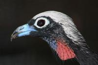 Pipile jacutinga - Black-fronted Piping-Guan
