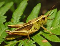 Image of: Melanoplus bivittatus (two-striped grasshopper)