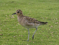 Image of: Pluvialis fulva (Pacific golden plover)