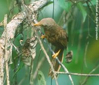 Orange-billed Babbler - Turdoides rufescens